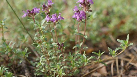 Liečivé rastliny vjúni – Dúška