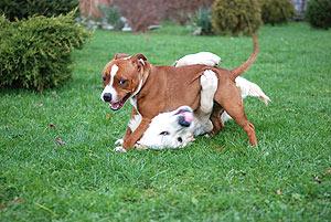 Stafordširský bulteriér by se měl v raném věku stýkat s jinými psy