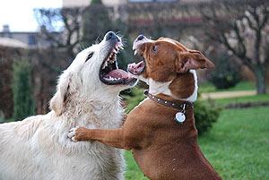 Ve vztahu k ostatním psům může být staford dominantní.