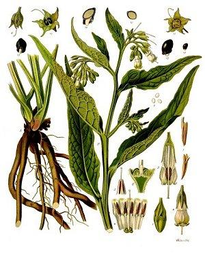 Kostihoj lekársky. (ilustrácia: wikipedia.org)