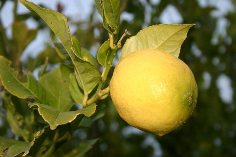 Citron jako přísada přírodního léčiva