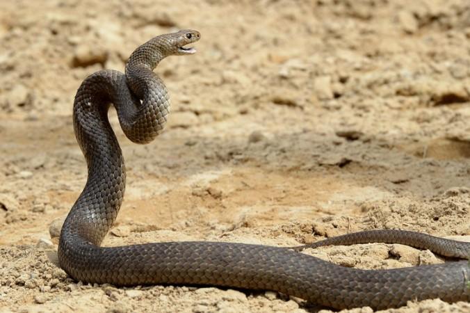 had kobra