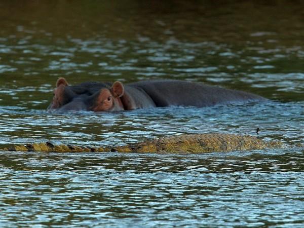 Krokodýl plave před hrochem.