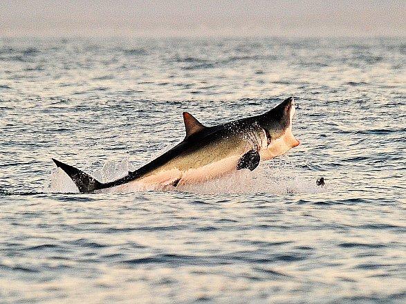 Velký bílý žralok.