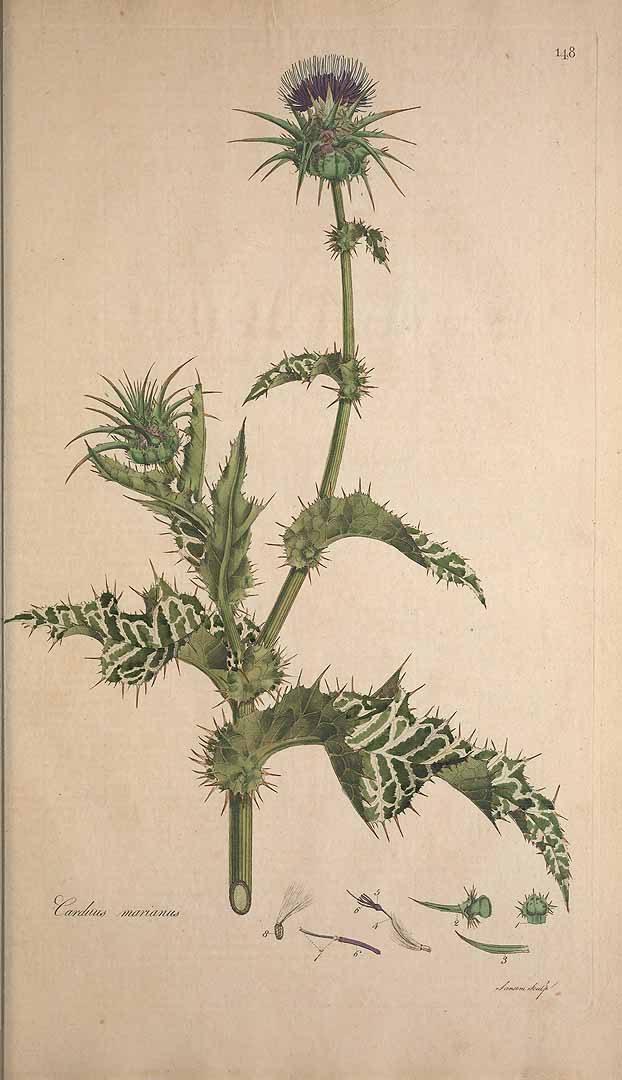ostropestrec mariansky