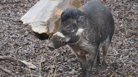 Jihlavská zoo: Před koncem roku se představí nový druh zvířete – filipínské prasátko