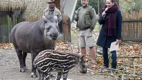 Jihlavská Zoo: Mládě tapíra si vzala pod křídlo samotná primátorka