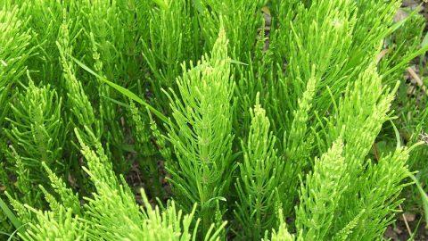 Liečivé rastliny vjúli – Praslička roľná
