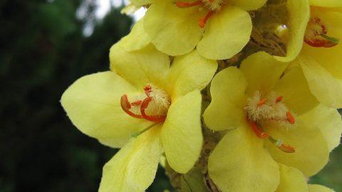Liečivé rastliny vjúni – Divozel veľkokvetý