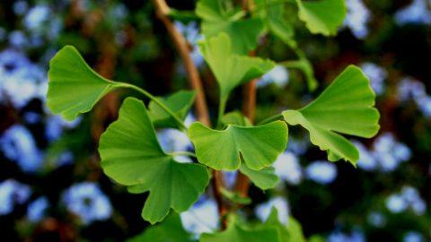 Ginkgo – zázračná liečivá rastlina