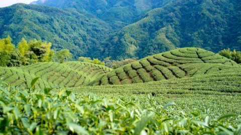 Tchajwanští vědci zkoumají složku čaje, která by mohla být účinná vboji proti wuchanskému koronaviru
