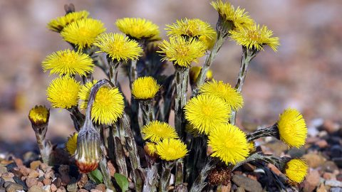 Liečivé rastliny vmarci – Podbeľ liečivý