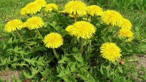 Liečivé rastliny vapríli – Púpava lekárska