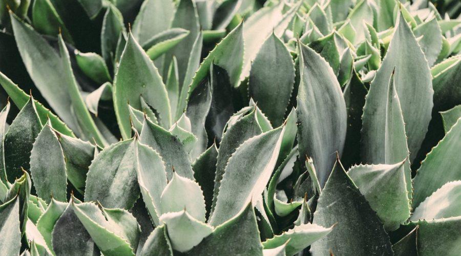 Aloe je stálezelená rostlina, která v současné době roste v klimaticky příhodných oblastech v moha částech světa. (Scott Webb / Pexels)