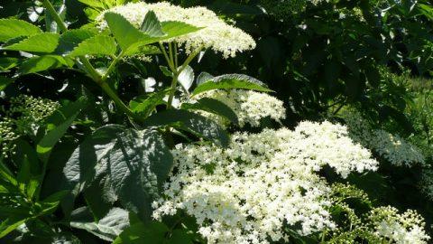 Liečivé rastliny vjúni – Baza čierna