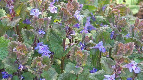 Liečivé rastliny vmáji – Zádušník brečtanovitý