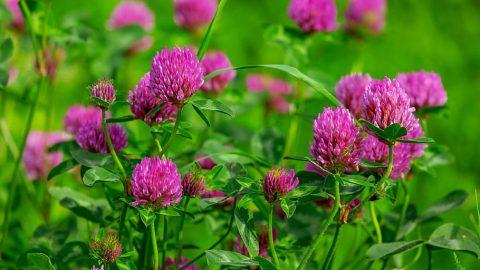 Liečivé rastliny vjúli – Ďatelina lúčna
