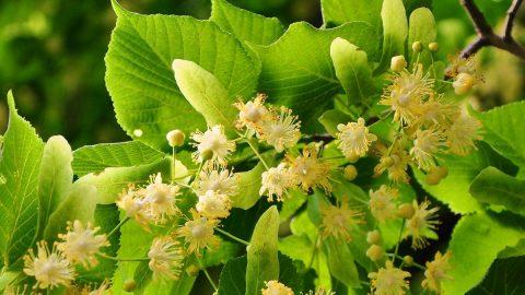 Liečivé rastliny vauguste – Lipa veľkolistá