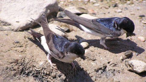 Jiřičky, ptáci roku, ajejich nejvýše položená hnízdiště