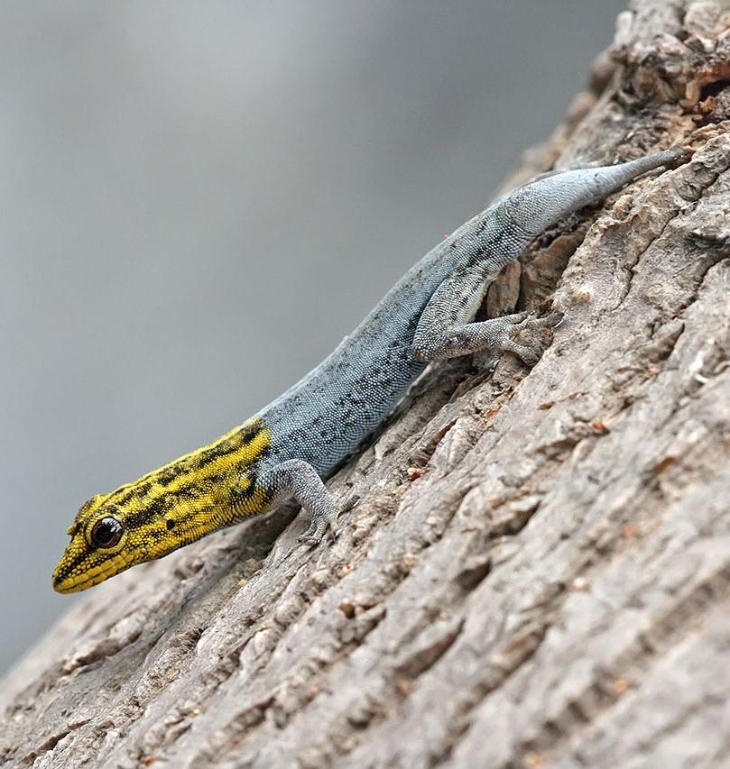 Trpasličí žlutohlavý gekon, ilustrační foto. (Muhammad Mahdi Karim / GFDL 1.2 )