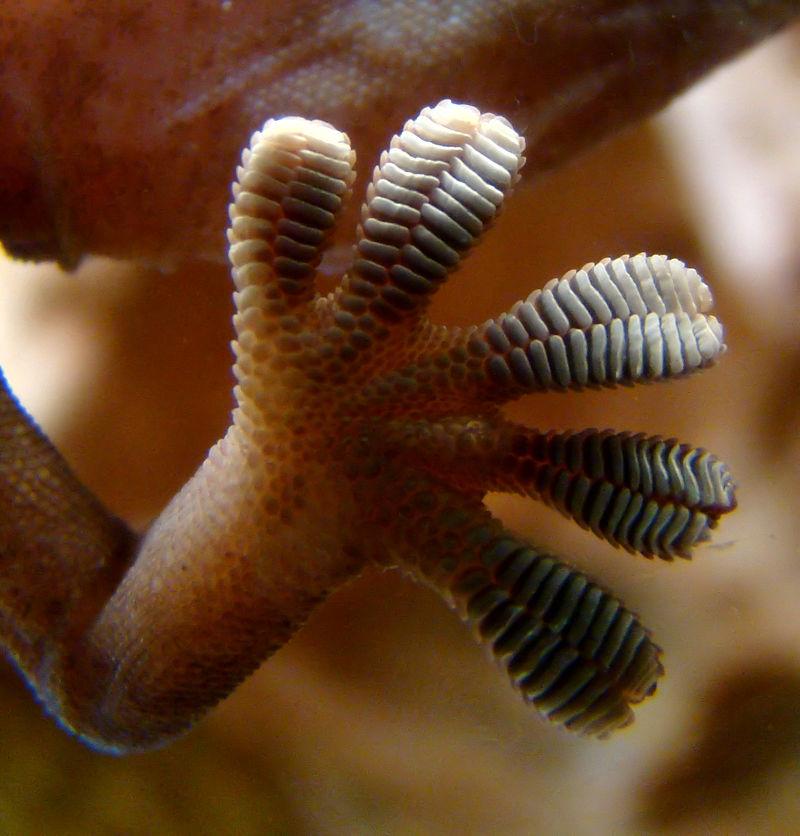 Detail spodní části nohy gekona při chůzi na svislém skle. (Bjørn Christian Tørrissen / CC BY-SA 3.0)