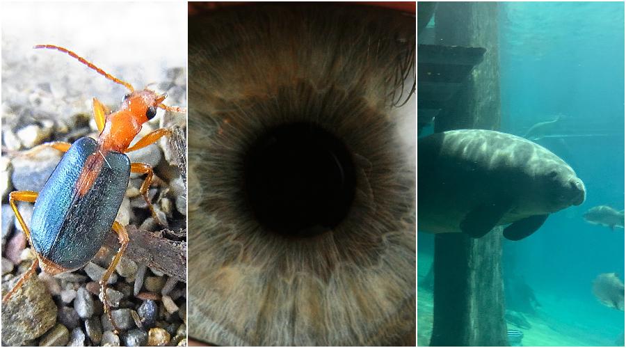 (Zleva) Brouk Prskavec. (Siga / CC BY-SA 3.0) Lidské oko. (che / CC BY-SA 2.5) Vodní savec Kapustňák. (Iyan Darmawan / Pexels)