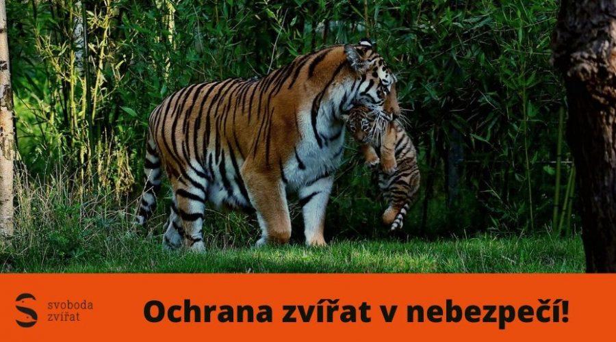 svoboda tygri