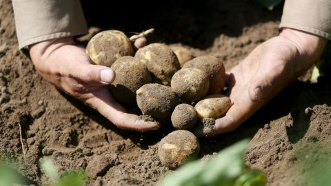 ČR: Potraviny zdomácích plodin by neměly zdražovat díky dobré úrodě (Agdata)