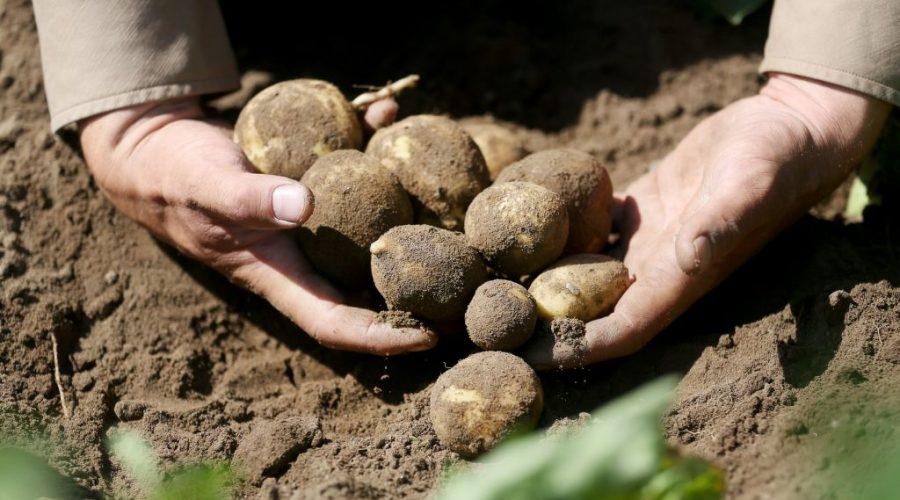 brambory sklizen