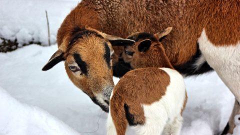 ZOO Tábor má první mládě – ovečku kamerunskou