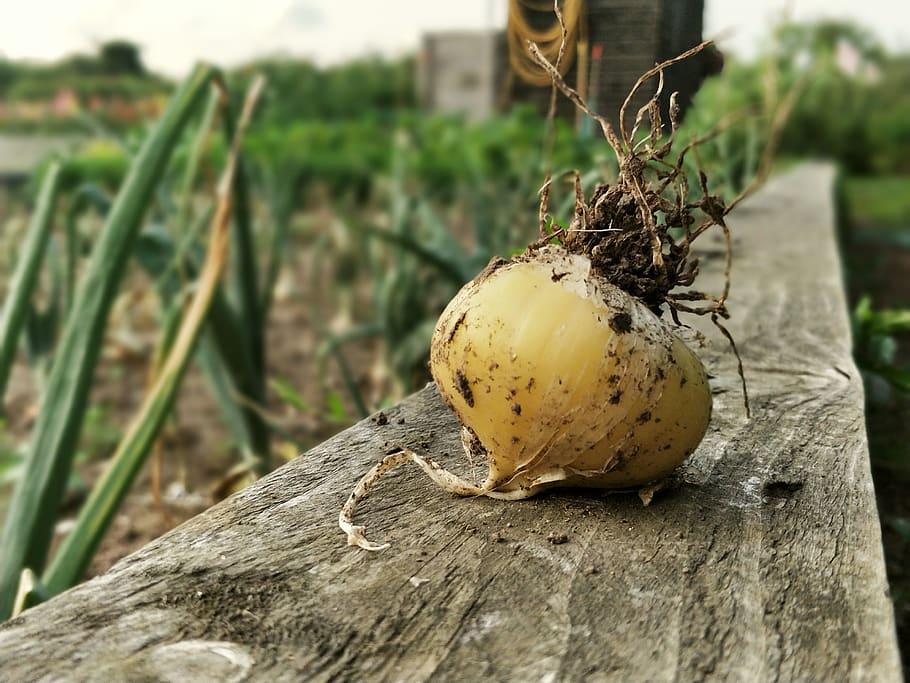 Onion Onions Vegetables Garden Gardening Gardener