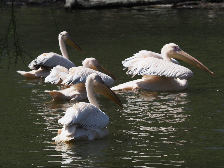 Zoo Pelikání Flotila
