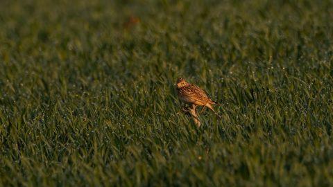 Polní ptáky na polích Prahy budou sledovat ornitologové. Pomůže šetrné hospodaření ptákům?