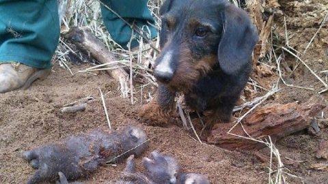 Myslivost: Norování je jeden ze způsobů lovu zvířat. Projde legislativou?