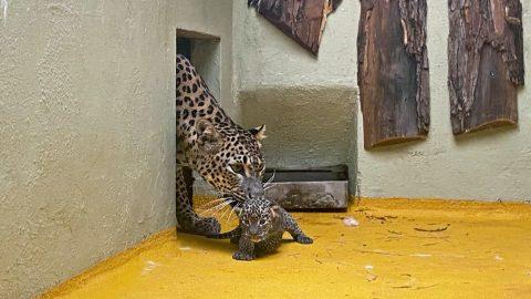 Zoo Jihlava: Narodila se koťata vzácných levhartů cejlonských