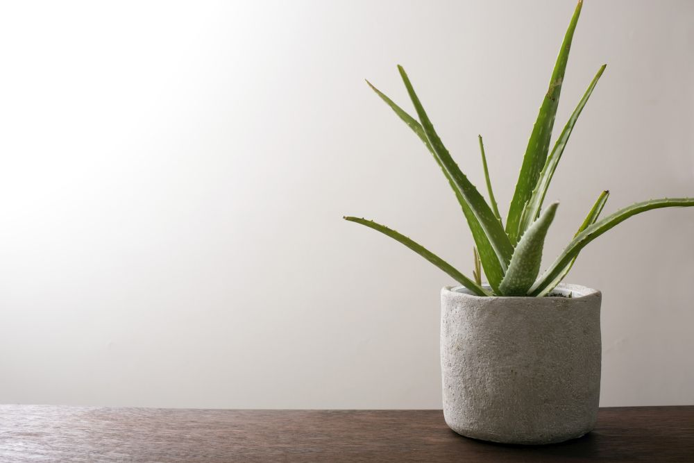 Potted Aloe Vera Plant On A Wooden Table