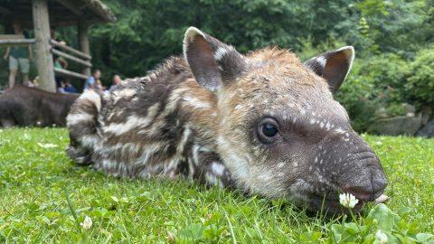 V Zoo Jihlava se narodila mláďata tapíra, karakala, lemurů, plameňáků, ještěrek…